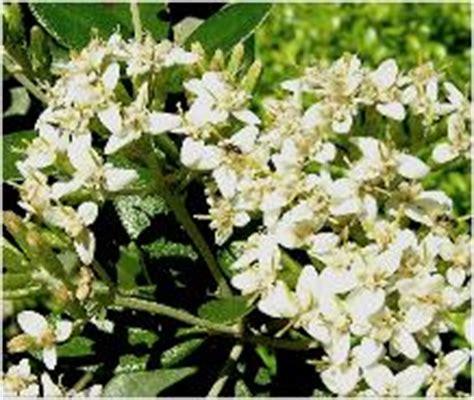 winter bloemen australie sierheesters sierstruiken