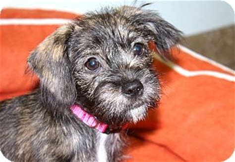 do shih tzus shed cheddar i do not shed adopted puppy los angeles ca