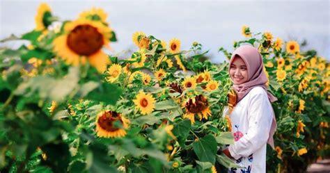 rute  lokasi kebun bunga matahari  bantul  hits