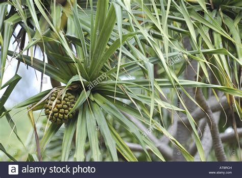 Cluster Of Green Leaves Lau Hala And Fruit Resembling A