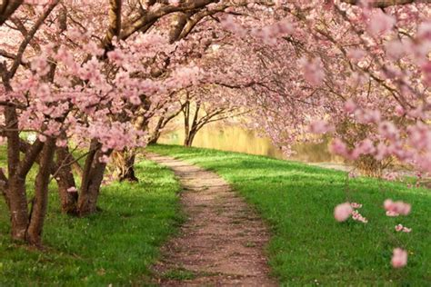 cherry blossom path wallpaper wall mural
