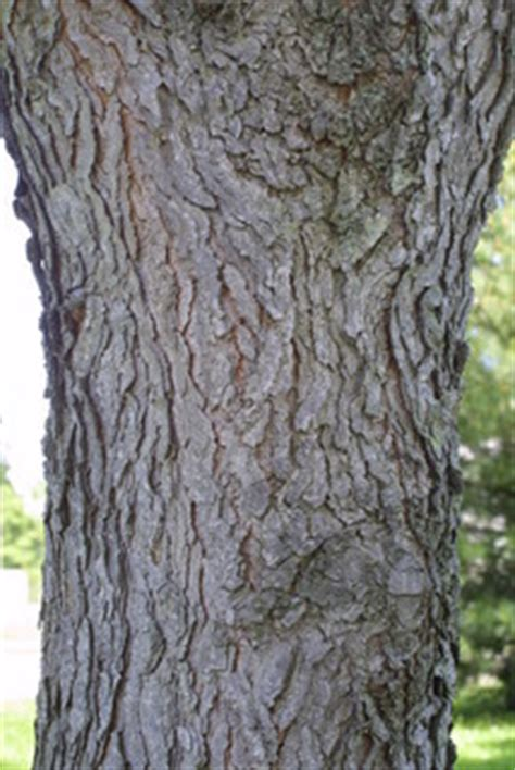 The kentucky coffeetree's tolerance to pollution and a wide range of soils makes it a suitable tree for urban environments. Gymnocladus dioicus - Kentucky coffeetree -- Discover Life