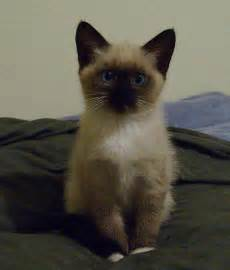 cat mix the himalayan mix kitten blue by