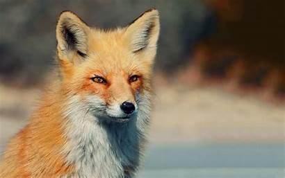 Fox Animals Desktop Backgrounds Wallpapers Mobile Wallup