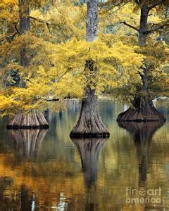 Cypress Tree Autumn