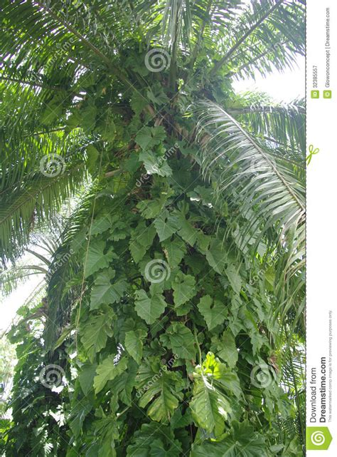 Climbing Plant On Palm Tree Royalty Free Stock Photography