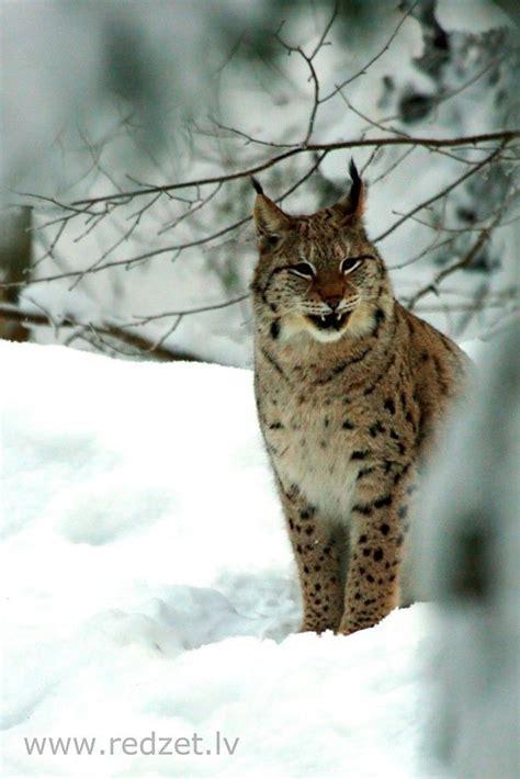 Eirāzijas lūsis (Lynx lynx) - redzet.lv | Luchs, Nord