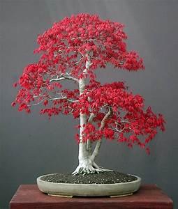 PlantWerkz: Red Maple Tree - Acer Rubrum