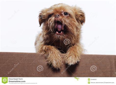 Cute Little Yawn Griffon Dog Stock Photos - Image: 23486053