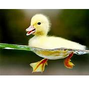 Collection Of Cute Baby Ducks – Wow Amazing