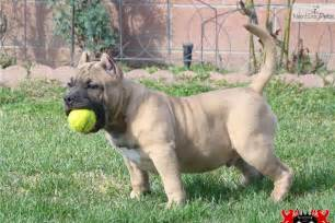 American Bully Dog Puppies