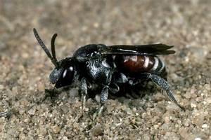 Schwarze Wespe Deutschland : parasitische bienen kuckucksbienen ~ Whattoseeinmadrid.com Haus und Dekorationen