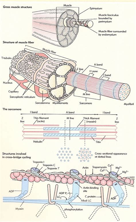 Tendons, ligaments, bone, and cartilage are connective tissues in which the activities of various cellular populations are responsible for synthesis and maintenance of large amounts of extracellular matrix that should, theoretically, be dynamically optimized to respond to mechanical demands. skeletal muscle physiology   Physiology Resorces (awesome)   HNFE 3804: Ex Phys   Pinterest ...