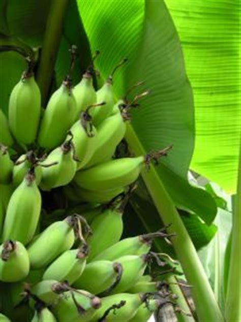 bananier culture  conseils dentretien