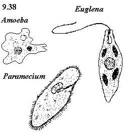 Diagram Euglena Sp by Diversity