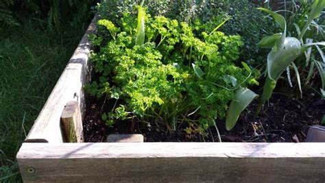 planter persil en pot plante aromatique archives fleur de