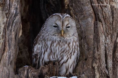 Ural Backgrounds by Hakodate Birding Another Sunday Another Owl