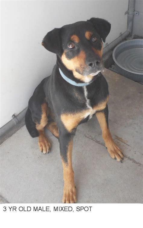 spot dogsindanger breed dog euthanized nc dogs cat