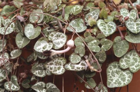 ceropegia linearis subsp woodii hearts   stringrhs