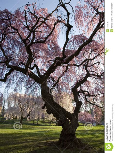 cherry blossom forest stock photo image  colorful
