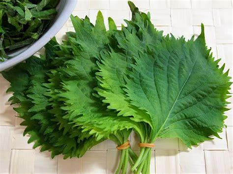 recettes de cuisine japonaise les feuilles de shiso dans la cuisine japonaise