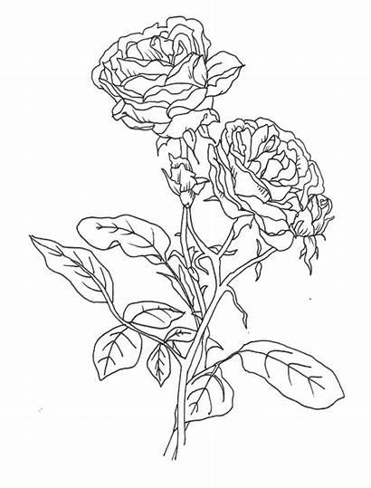 Coloring Rose Realistic Bunga Mawar Flower Sketsa