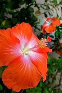 Wann Schneidet Man Hibiskus : hibiskus als zimmerpflanze das ist bei der pflege zu ~ Lizthompson.info Haus und Dekorationen