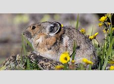 Pika Rocky Mountain National Park US National Park