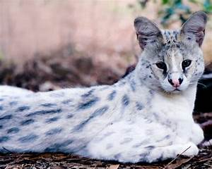 Tonga the white serval at Big Cat Rescue
