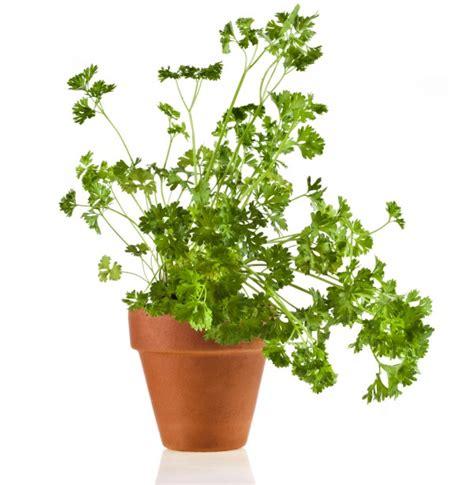 piante da davanzale 5 piante facili da coltivare nell orto o sul davanzale