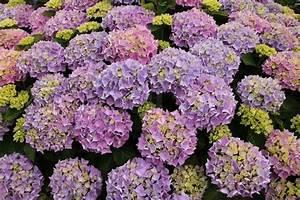 Blumen Für Garten : sommer wundersch ne bl hende hortensie mit vielen fantastischen lila blumen in haus garten ~ Frokenaadalensverden.com Haus und Dekorationen