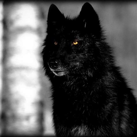 Wolf Wallpaper Real by 10 Black Wolf Wallpaper Hd Hd 1920 215 1080 For Pc