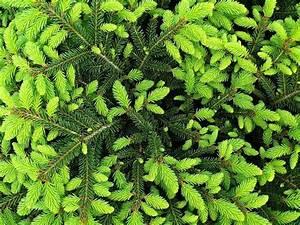 Abete Picea abies Picea abies Alberi Abete Picea