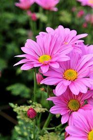 Pink Daisies Flowers