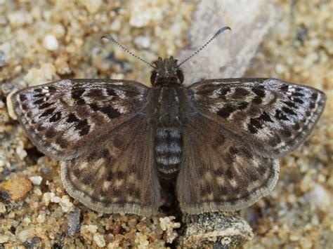 mottled duskywing alabama butterfly atlas
