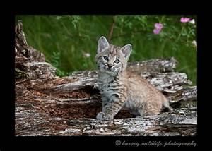 baby bobcats | Search Results | Dunia Photo