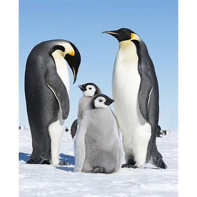 Emperor Penguin Facts for Kids - yourkidsplanet.com