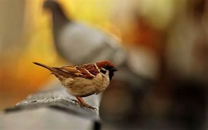 Sparrow Bird Wallpapers Seating Birds Save Walls