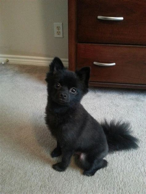 black pomeranian ideas  pinterest black