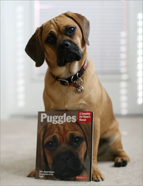 Do Pugs And Puggles Shed by
