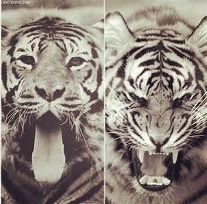 Tigers Tumblr Photography | www.pixshark.com - Images ...