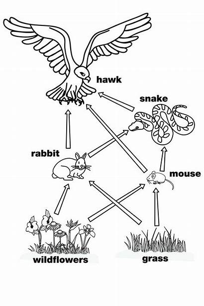 Web Coloring Pages Diagram Worksheet Chain Wetland