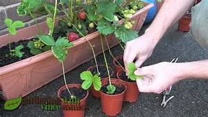 Planting Strawberry Runners, Propagating Strawberries the ...