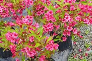 Weigela Bristol Ruby : bristol ruby weigela smaller springvale nurseries ~ Michelbontemps.com Haus und Dekorationen