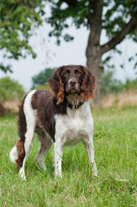 small munsterlander dogs breed information omlet