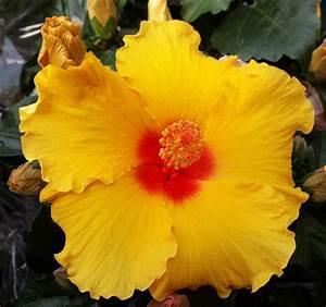 Taille De L Hibiscus : taille hibiscus int rieur ~ Melissatoandfro.com Idées de Décoration