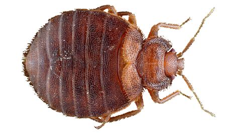 bed bugs flat bed bug imposters how to identify bed bugs