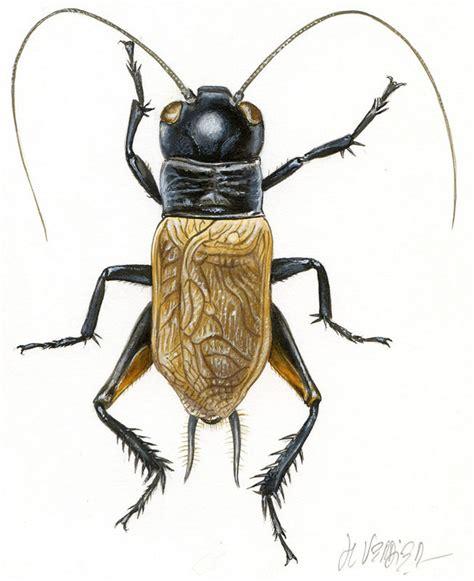 jean louis verdier grillon ch 234 tre par jean louis verdier 昆虫 pinterest