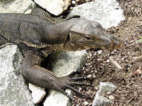 Monitor Lizard, Sungei Buloh Wetlands Reserve