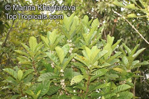 A wide range of international property to buy in south africa with primelocation. Coffea dewevrei, Coffea liberica var. dewevrei, Coffea excelsa , Excelsa Coffee - TopTropicals.com